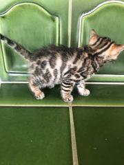 Bengalische Kitten