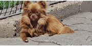 Chihuahua Hündin Schoko 9 mon