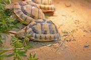 Ägyptische Landschildkröten Testudo kleinmanni Männchen