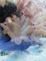 Fingerlederkoralle Weichkoralle Meerwasser