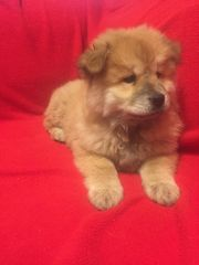 Total knuffige Chow-Chow Mix Welpen