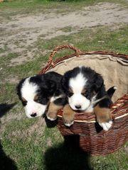 Bernersennen Welpen swissydog