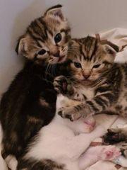 Scottish Fold Mix Kitten
