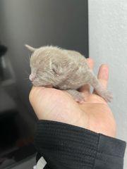 BKH Kitten Reinrassig Lilac Blue