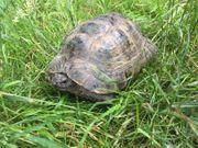 Maurische Landschildkröten