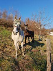 Pferde Ihre Wiese abgrasen lassen
