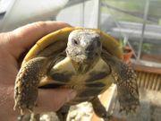 Griechische und Maurische Landschildkröten aus