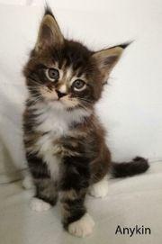 Traumhafte Maine Coon Kitten