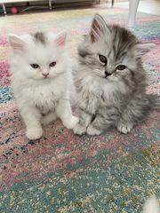 BKH BLH Kitten Highlander