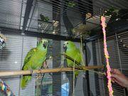 Papagei Blaustirnamazone Mänchen Weibchen