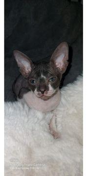 Kitten Don Sphinx