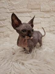 Süße kleine Sphinx Katze