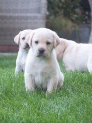Labrador Welpen jetzt fertig