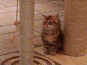 Wunderschöne und verschmuste Sibirische Kitten