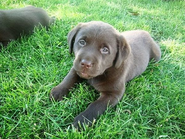 Labrador Welpen aus Familienzucht