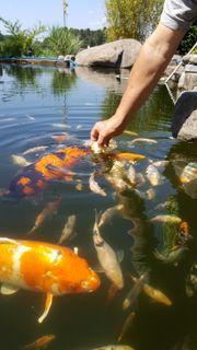 Koi Gruppe 4 Fische 1