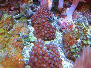 meerwasser krustenanemonen weichkorallen ableger tiere