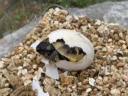 Griechische Landschilkröten - Schildkröten Babys von
