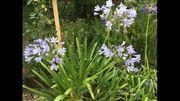 Riesen-Agapanthus Riesen-Schmucklilie tolle Terrassenpflanze