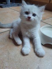 Kitten Neva Masquarade Ragdoll