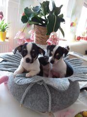 Kleine Chihuahua Babys