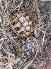 zwei Griechische Landschildkröten aus 12