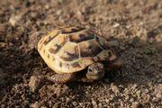 Maurische Landschildkröten Testudo graeca ibera