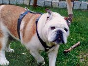 Suchen Englische Bulldogge -Welpen-