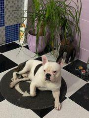 Deckrüde französische Bulldogge frei atmend