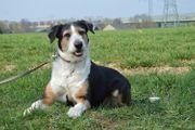 LAIKA Border Collie Terrier Mischling