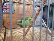 Blaustirn Amazon Papagei mit Papier