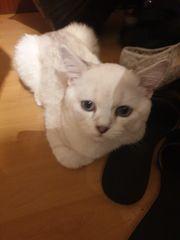 Brittisch Kurzhaar Katzen 6 Monate