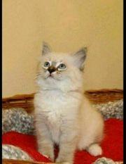6 wunderschöne Ragdoll-Heilige Birma Kitten