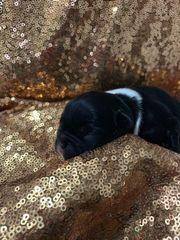 5 französische Bulldoggen Welpen Ratenzahlung