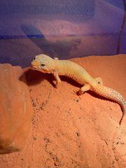 Leopardgecko Tangerine het Raptor 1