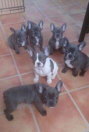 Wunderschöne Franzosische Bulldogge suchen ein