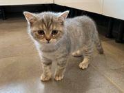 Süße Britisch Kurzhaar Kitten getigert