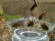 Goldfische schwarz
