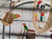 Pfirsichköpfchen inklusive Käfig