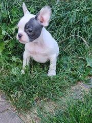 Französische Bulldoggen Isabella lilac Träger
