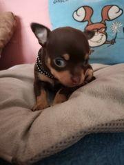 reinrassige Mini chihuahua rüde