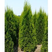 Heckenpflanzen lebensbaum Thuja Smaragd Thuja