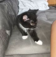 8 Wochen junges Kitten