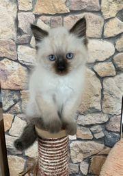 Heilige Birma Kitten männlich