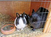 Kaninchen Hasen Stall Weibchen Zwergkaninchen
