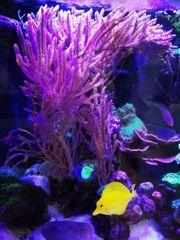 extra Groß Gorgonie rosa Koralle
