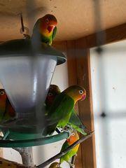 Agaporniden Pfirsichköpfchen klein Papagei