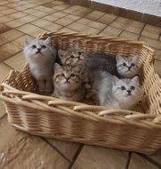 BKH Kitten und BKH Mama