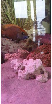 malawi venustus junge fisch