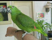 Papagei Gelbnackenamazone zahm und sprechend